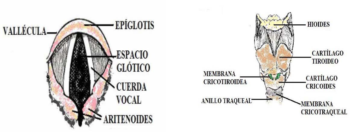 Lujo Anatomía De La Vía Aérea Superior Cresta - Anatomía de Las ...